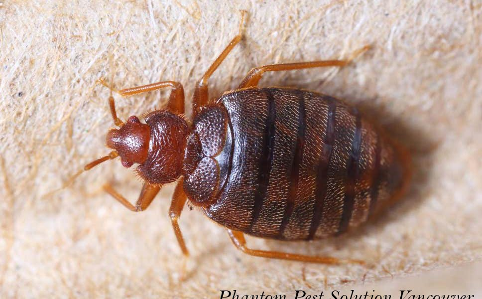 Control Bed Bugs with Phantom Pest Control