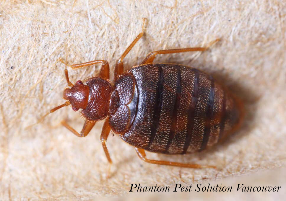 Bed Bugs Control with Phantom Pest Control