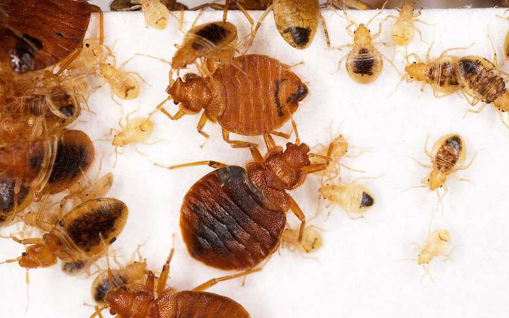 Bed Bug Solution Vancouver | Phantom Pest Control