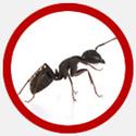 Vancouver Carpenter Ants Control Icon | Phantom Pest Control