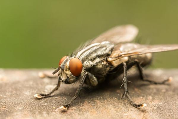 Vancouver Pest Fly Control | Phantom Pest Control