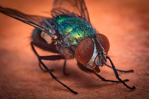 Vancouver Fly Control Solution | Phantom Pest Control