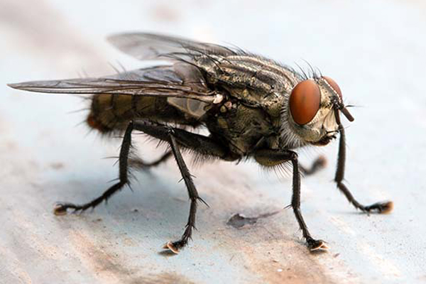 Vancouver Fly Solution | Pest Solution | Phantom Pest Control
