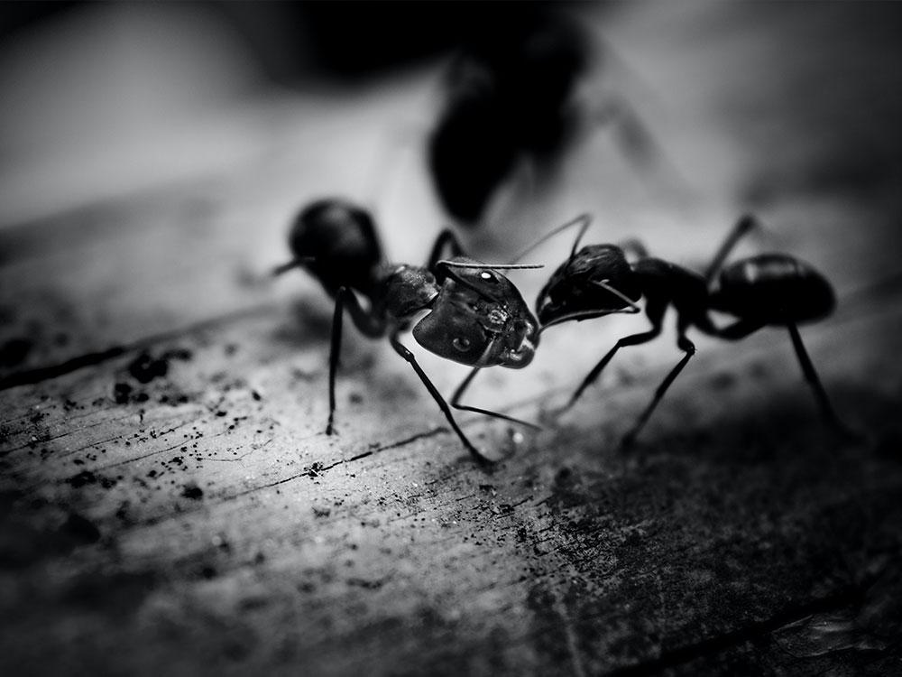 Carpenter Ants Control Vancouver | Phantom Pest Control