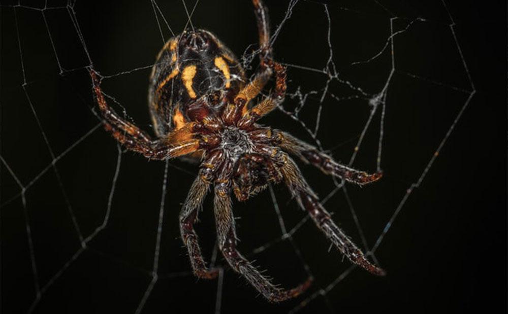 Phantom Spider Control Solutions | Phantom Pest Control