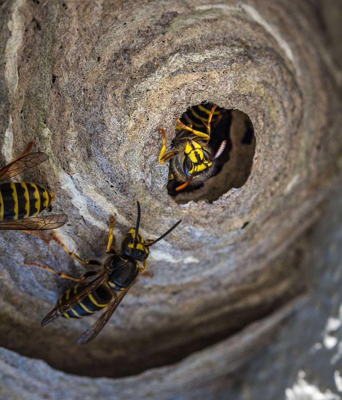 Wasp Nest Removal Vancouver BC | Phantom Pest Control