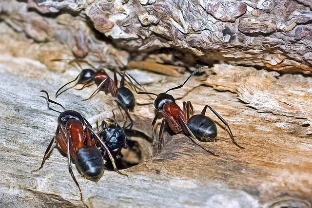 Carpenter Ants Control in Vancouver | Phanto Pest Control Vancouver