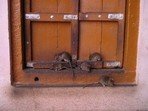 Rodent Activity at Home in Cold Months | Phantom Vancouver Pest Control