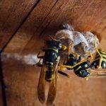 Wasp Nests | Wasp Control Vancouver | Phantom Pest Control