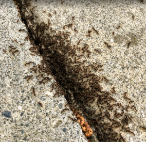 Pavement Ants Control   Phantom Pest Control
